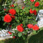 roses rouge rosier