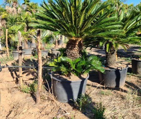 Palmiers pépinière